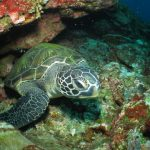 """Green Sea Turtle""。"