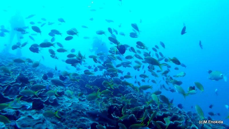 屋久島の海 ダイビング 魚群